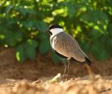 05895 - Spur-winged lapwing / Gaash - Israel