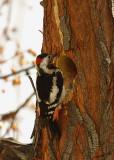 05952 - Downy Woodpecker (male) / Ganey-Tikva - Israel