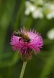 06291 - Bee / Olympos - Antalya - Turkey
