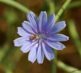 07016 - Alien on a flower (tiny insect)... / Gamla - Israel