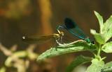 07143 - Calopteryx syriaca heart / Gamla - Israel