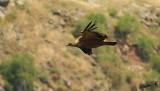07340 - Vulture... / Gamla - Israel