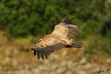 07367 - I'm still watching you... | Vulture / Gamla - Israel