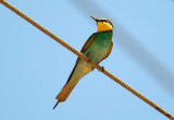 07846 - Bee-eater / Givaat-Shmuel - Israel