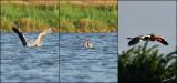 10218-10221 - Pelica fishing... / Rishon - Israel