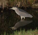 10852 - Black-crowned, Night Heron / HaMaccabiah park - Israel