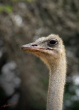 10876 - Ostrich / Safari zoo - Ramat-Gan - Israel