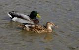 10904 - Ducks / Safari zoo - Ramat-Gan - Israel