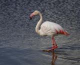 10926 - Flamingo / Safari zoo - Ramat-Gan - Israel