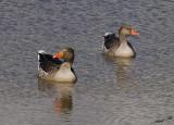 10931 - Crossly? | Ducks / Safari zoo - Ramat-Gan - Israel