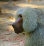 10968 - Hamasryas Baboon / Safari zoo - Ramat-Gan - Israel