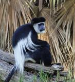 10971 - Colobus / Safari zoo - Ramat-Gan - Israel