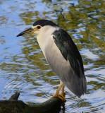 10994 - Black-crowned, Night Heron / Safari zoo - Ramat-Gan - Israel