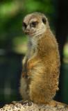 11018 - Suricatta (Meerkat) / Safari zoo - Ramat-Gan - Israel