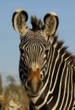 11027 - Zebra / Safari zoo - Ramat-Gan - Israel