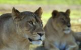 11032 - Lioness / Safari zoo - Ramat-Gan - Israel
