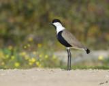 11284 - Spur-wingwd lapwing / Rishon swamp - Israel