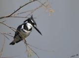11349 - Pied Kingfisher / Rishon swamp - Israel