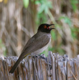 11415 - Red-eyed Bulbul / Orange-river - South Africa