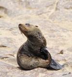 11713 - Cape Fur Seals / Cape Cross - Namibia