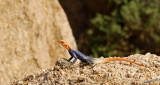 11732 - Red-headed Agama / Spizkoppe - Namibia