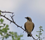 11748 - White-browed Sparrow-Weaver / Cheetah park - Namibia