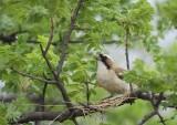 11758 - White-browed Sparrow-Weaver / Cheetah park - Namibia