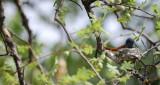 11797 - African Paradise-Flycatcher / Cheetah park - Namibia