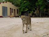 11827 - Watchdogs (where??) / Cheetah park - Namibia