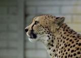 11874 - Cheetah / Cheetah park - Namibia