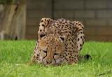 11895 - Cheetah / Cheetah park - Namibia