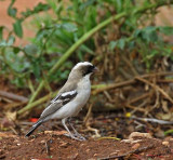11912 - White-browed Sparrow-Weaver / Cheetah park - Namibia