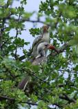 11914 - Red-billed Hornbill
