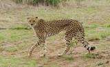 11937 - Cheetah / Cheetah park - Namibia