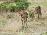 11939 - Cheetah / Cheetah park - Namibia