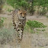 11941 - Cheetah / Cheetah park - Namibia