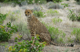 11945 - Cheetah / Cheetah park - Namibia