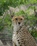 11948 - Cheetah / Cheetah park - Namibia