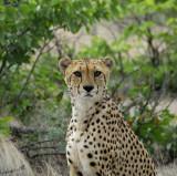 11950 - Cheetah / Cheetah park - Namibia