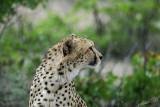 11953 - Cheetah / Cheetah park - Namibia