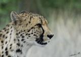 11963 - Cheetah / Cheetah park - Namibia