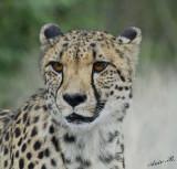 11964 - Cheetah / Cheetah park - Namibia