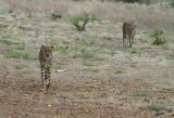 11991 - Cheetah / Cheetah park - Namibia