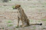 11992 - Cheetah / Cheetah park - Namibia