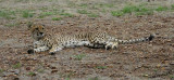 11995 - Did you speak with me? | Cheetah / Cheetah park - Namibia