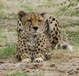 12003 - Cheetah / Cheetah park - Namibia
