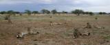 12008 - Cheetah waiting for food (and looking on us!) / Cheetah park - Namibia