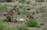 12011 - Cat fight! | Cheetah / Cheetah park - Namibia