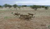 12015 - Cheetah / Cheetah park - Namibia