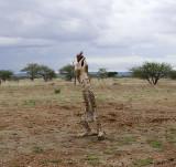 12029 - Cheetah / Cheetah park - Namibia